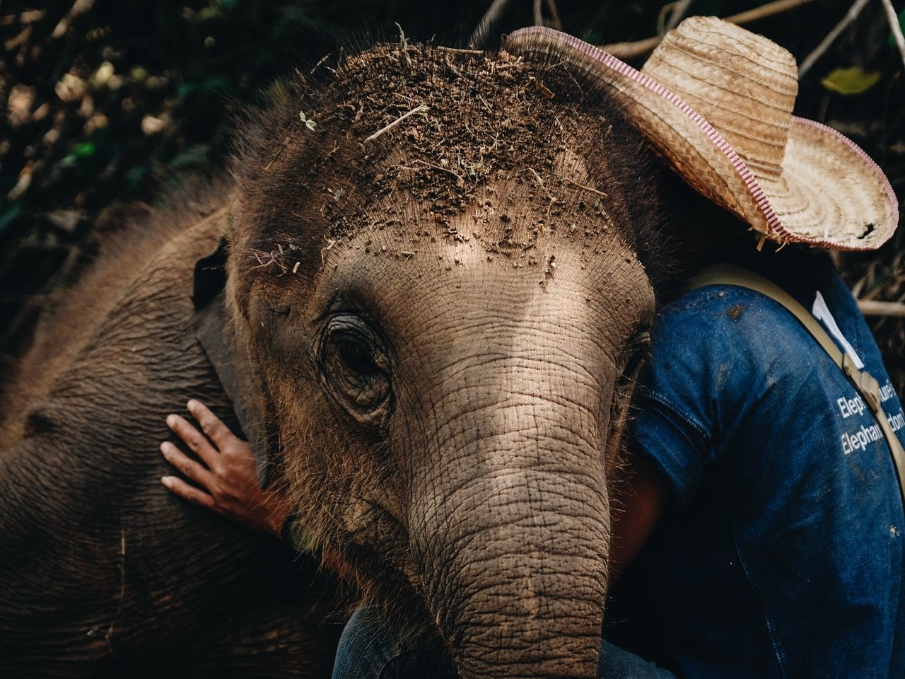 This sanctuary takes in abused elephants that are unable to survive in the wild. This particular baby elephant is extremely attached to one particular mahout, constantly seeking attention from him.seekingconstantly seeking animal wildlife elephant animal one animal close-up outdoors The Portraitist - 2017 EyeEm Awards beauty in Nature Nature adventure The Photojournalist - 2017 EyeEm Awards The Great Outdoors - 2017 EyeEm Awards