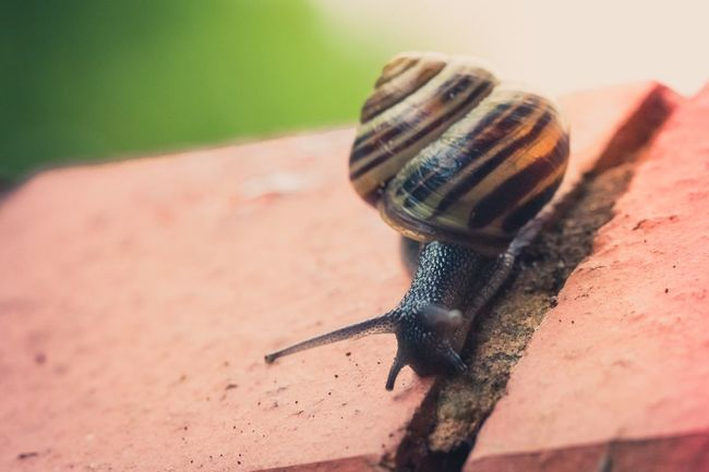 A brown-lipped snail, one of the few creatures enjoying the weather round here on day 1 of #30DaysWild. 30dayswild Brown-lipped Snail Cepaea Nemoralis Nature Minibeasts Mollusc Snail Springwatch