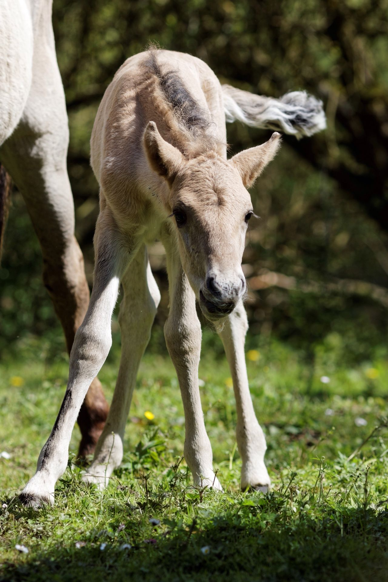 Newly Born Konik Foal Horse Animal Themes Domestic Animals Field Livestock Mammal One Animal Day Grass Focus On Foreground Nature Outdoors No People Standing Full Length Close-up