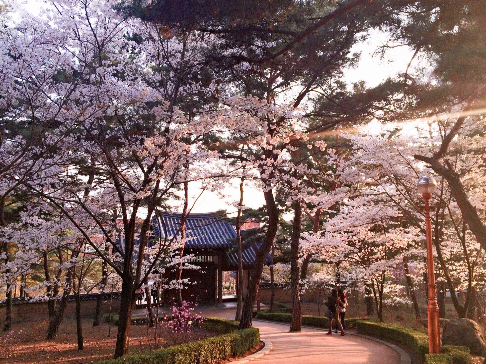 Keimyung University Cherry Blossoms