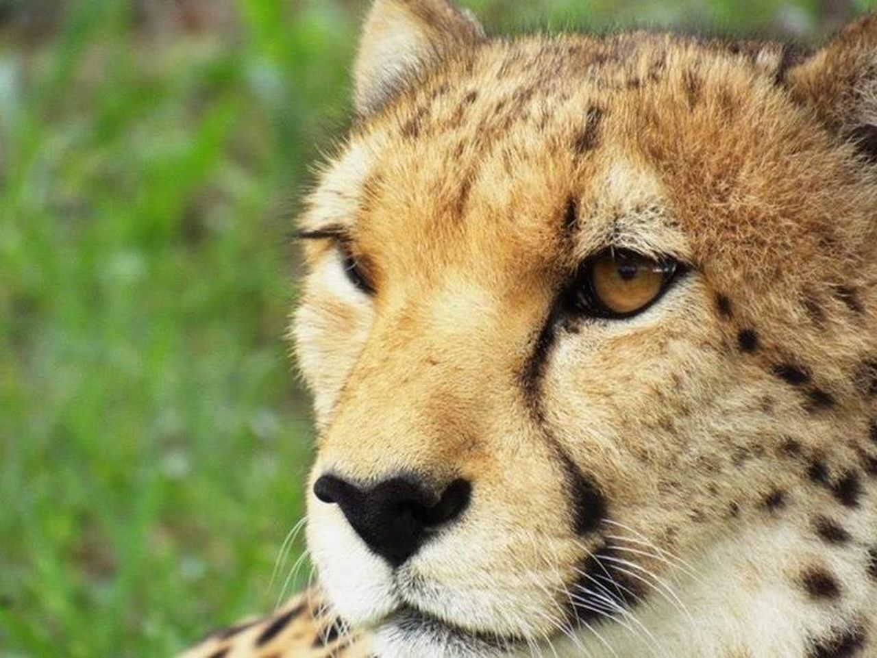 Africa Africa Wildlife African Wildlife Animal Wildlife Animals In The Wild Carnivora Cheetah Close-up Day Mammal Nature One Animal Wildlife & Nature