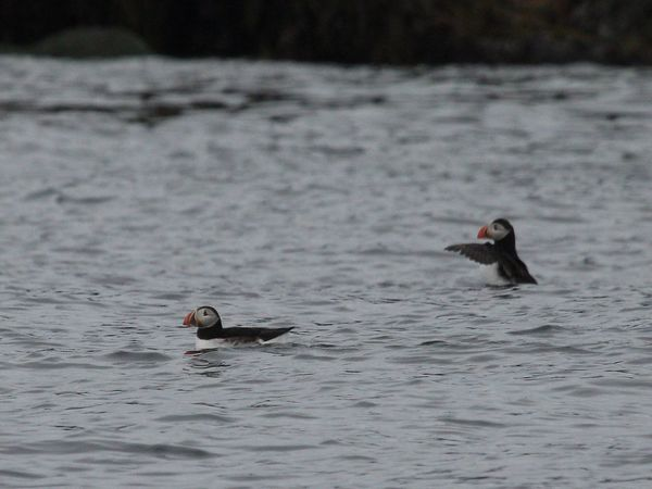Puffin Puffins Iceland
