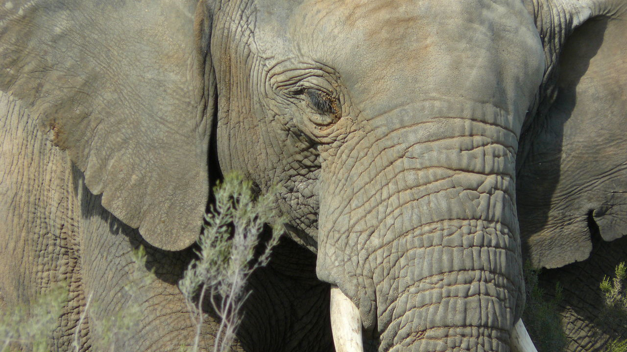 African Elephant Animal Body Part Animal Head  Animal Skin Animal Themes Animal Trunk Animal Wildlife Animals In The Wild Close-up Day Elephant Grass Mammal Nature No People One Animal Outdoors Safari Animals Tusk