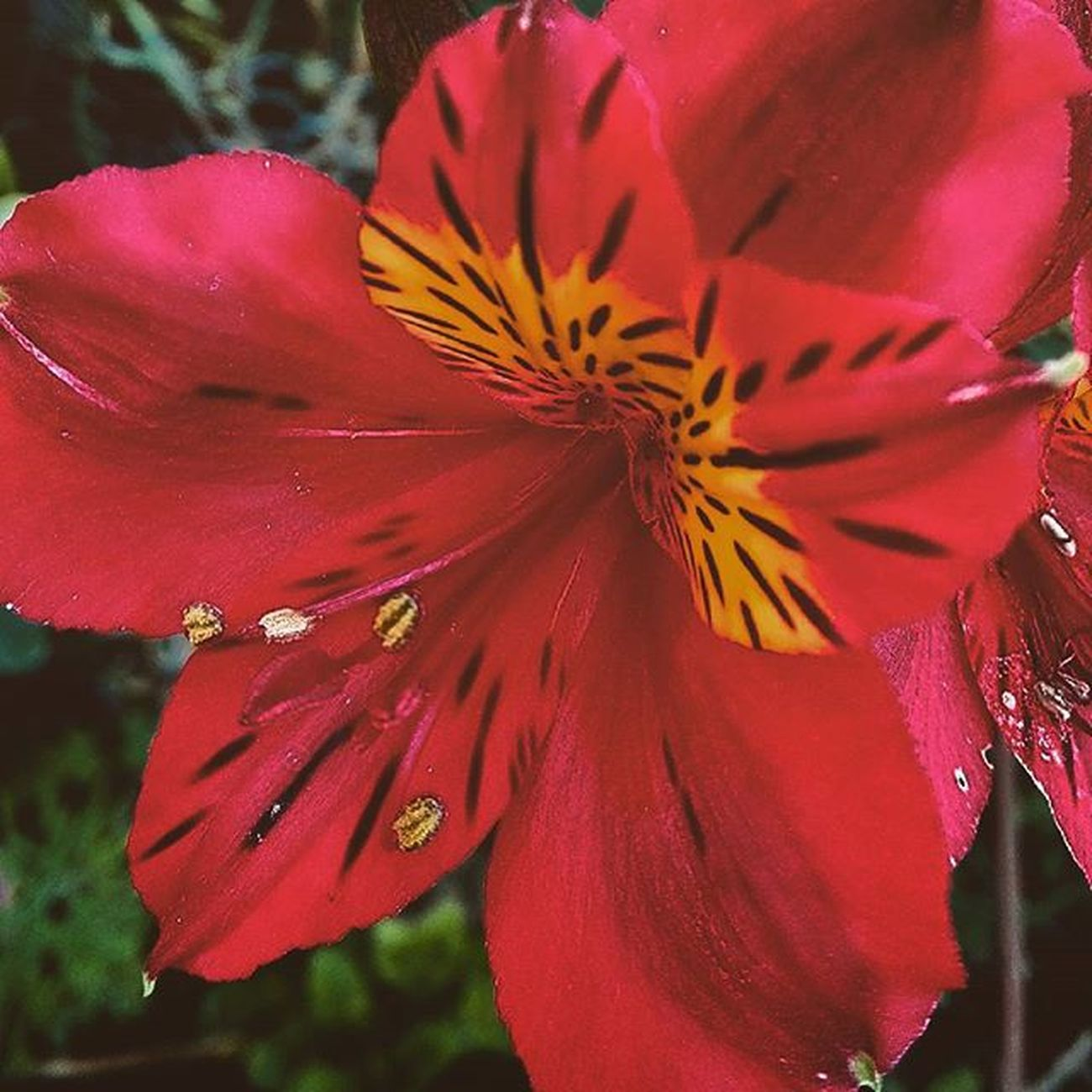 Tt_wt_rflora 9Vaga_ColorRed9 Af_floral Pocket_pretty Nature Ptk_flowers_red1 Hello_red
