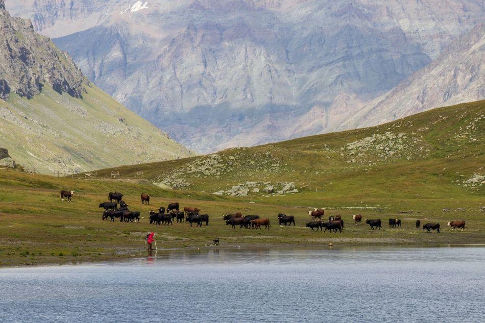 Beautiful stock photos of buffalo,  Beauty In Nature,  Buffalo,  Cattle,  Day