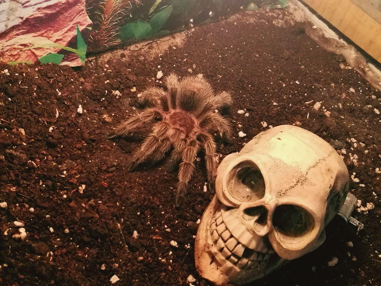 Rossy Gammostrola Tarantula Arañas Spider Rosea Domestic Spider No People Animal Themes Looking At Camera Domestic Animals EyeEm Nature Lover