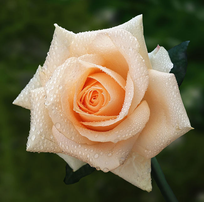 Beauty In Nature Close-up Drop Flower Flower Head Freshness In Bloom Nature Single Flower Single Rose
