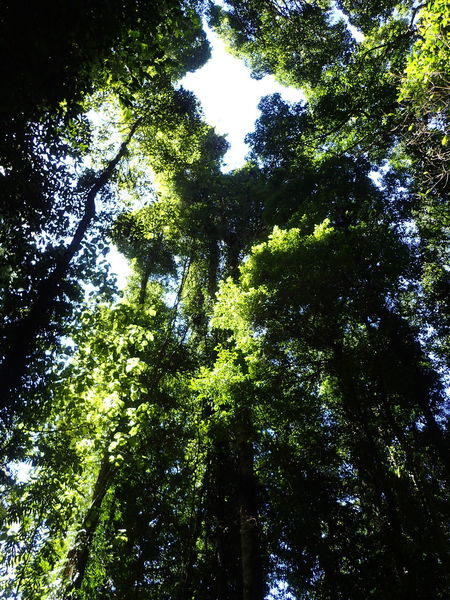 Look up! Tree Low Angle View Full Frame Outdoors Growth Nature Backgrounds No People Green Color Beauty In Nature Ancient Trees Natural Light Tree Trunk Looking Up Dorrigo National Park National Parks Textures And Surfaces Branch Natural Light Photography Spring Oxygen Freshness Looking Up Through The Trees Looking Up To The Sky Natural Light And Shadow Effect Perspectives On Nature
