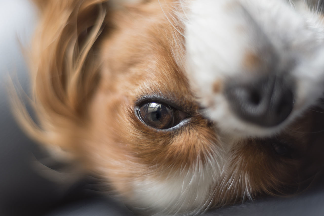 Cavalier King Charles rolled over looking at camera Animal Eye Animal Themes Cavalier King Charles Spaniel Cavalier King Charles Spaniel Close-up Cute Day Dog Domestic Animals Eye Indoors  Looking At Camera Macro Mammal No People One Animal Pets Playing Portrait Puppy Rolling Sad