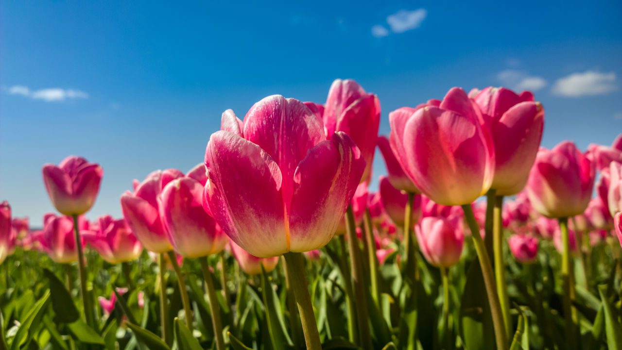 Close-Up Of Tulips Blooming On Field Against Sky