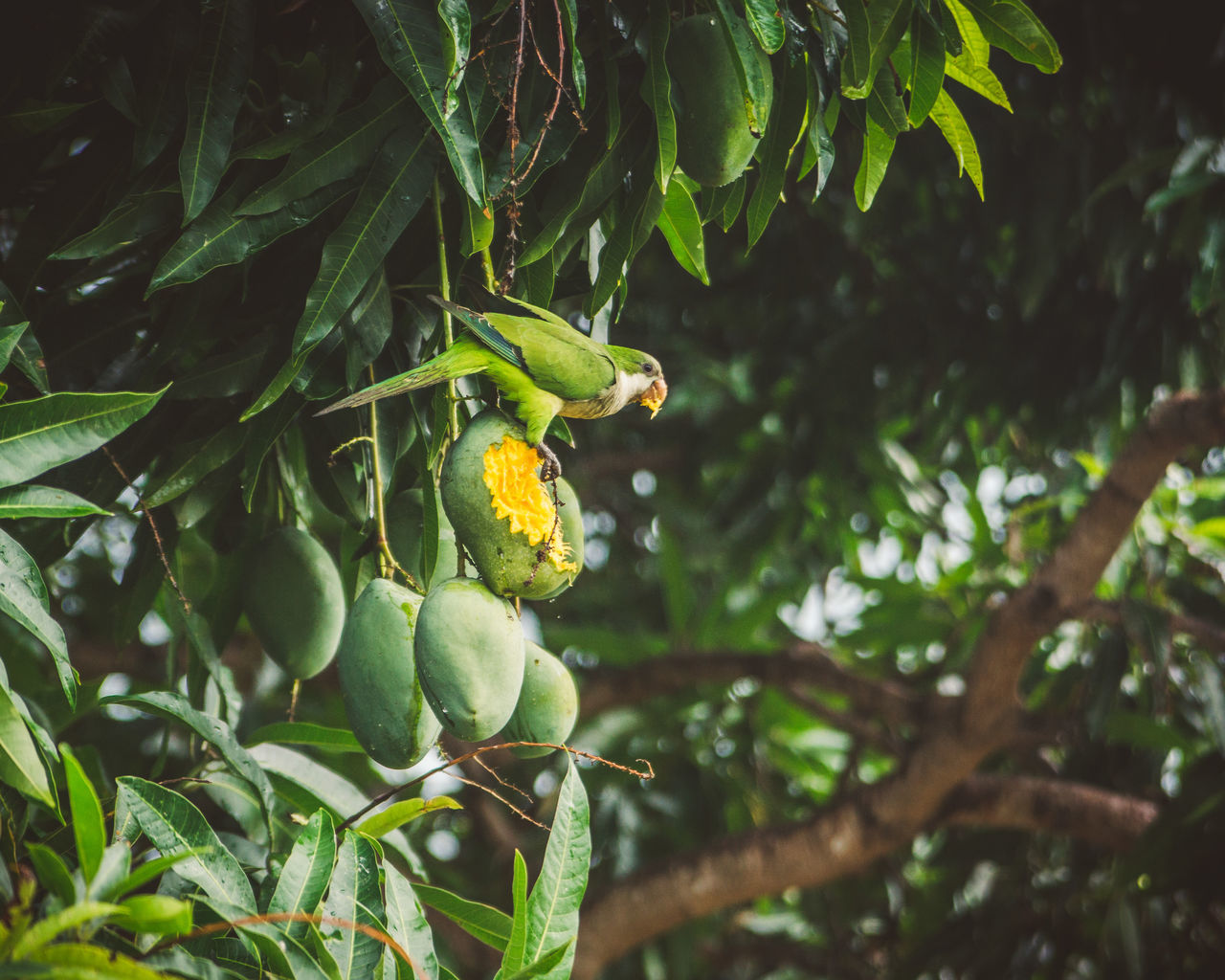 We had three mango trees in our garden and the green parrots loved them. Just like we did! Animal Animal Themes Animal Wildlife Animals In The Wild Animals In The Wild Beauty In Nature Bird Focus On Foreground Food Food And Drink Freshness Fruit Green Color Growth Jungle Leaf Mango Nature No People One Animal Outdoors Parrot Perching Tree Wildlife BYOPaper! The Great Outdoors - 2017 EyeEm Awards