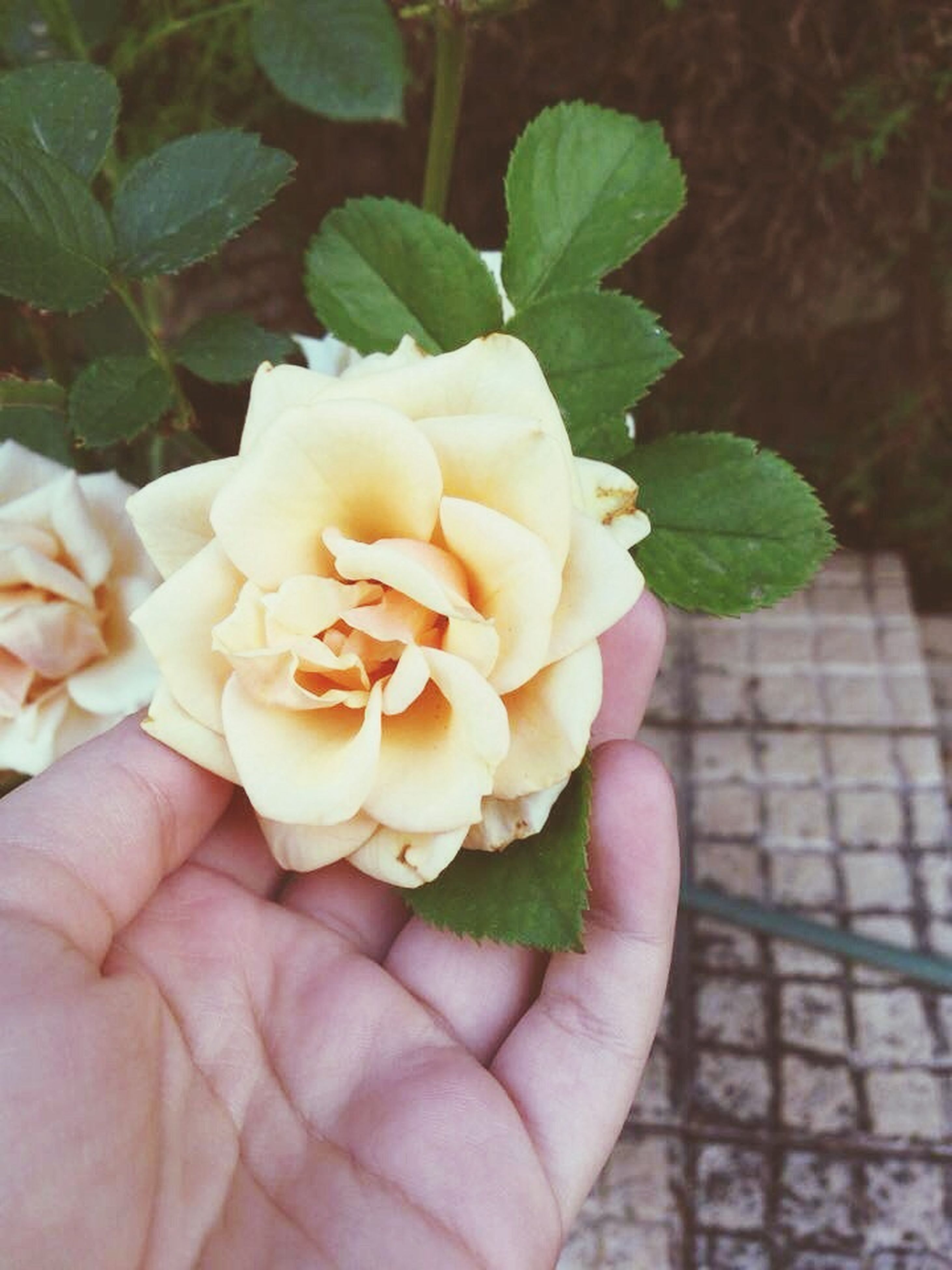 person, freshness, flower, holding, close-up, rose - flower, part of, focus on foreground, fragility, petal, flower head, cropped, human finger, leaf, unrecognizable person, single flower, rose