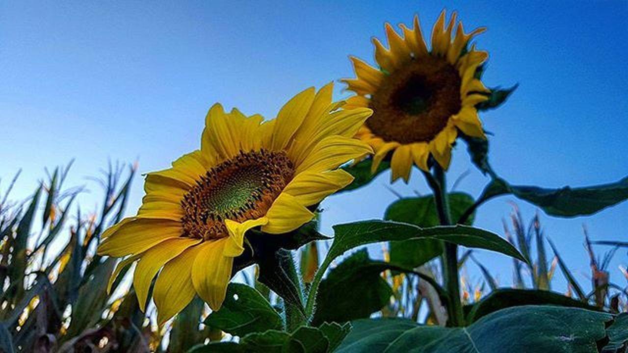 """Keep your face always toward the sunshine - and shadows will fall behind you"" Waltwhitman Sunflowers Headuphigh Goals Cornmaze Fall"