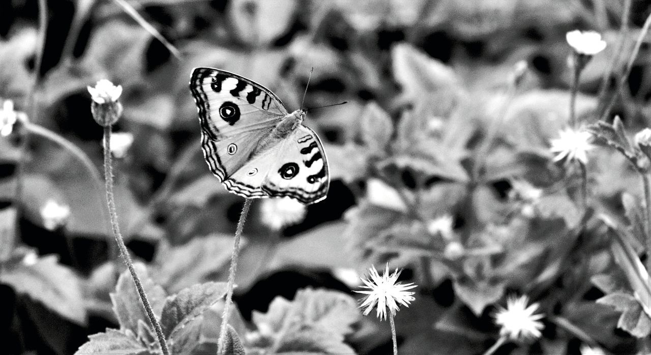 butterfly - insect, insect, one animal, animal themes, animals in the wild, plant, nature, butterfly, close-up, focus on foreground, fragility, no people, animal wildlife, outdoors, flower, beauty in nature, day, leaf, growth, freshness, flower head, spread wings
