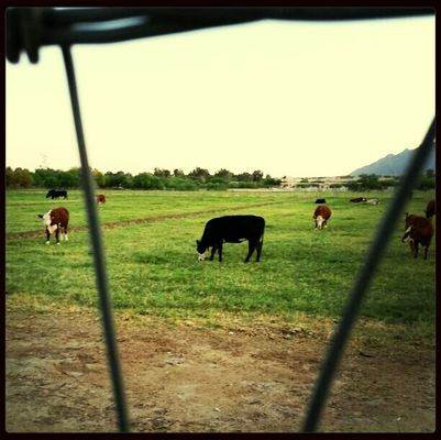 cows in Tucson by Becky Soto
