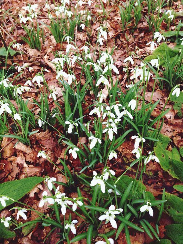 Beautiful Nature Flowers_collection Snowdropflower Floweroftheday