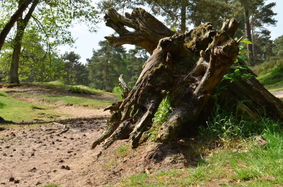 Remnants of natural decay Beauty In Nature Day Landscape Nature Netherlands Outdoors Tree Tree Trunk Veluwe