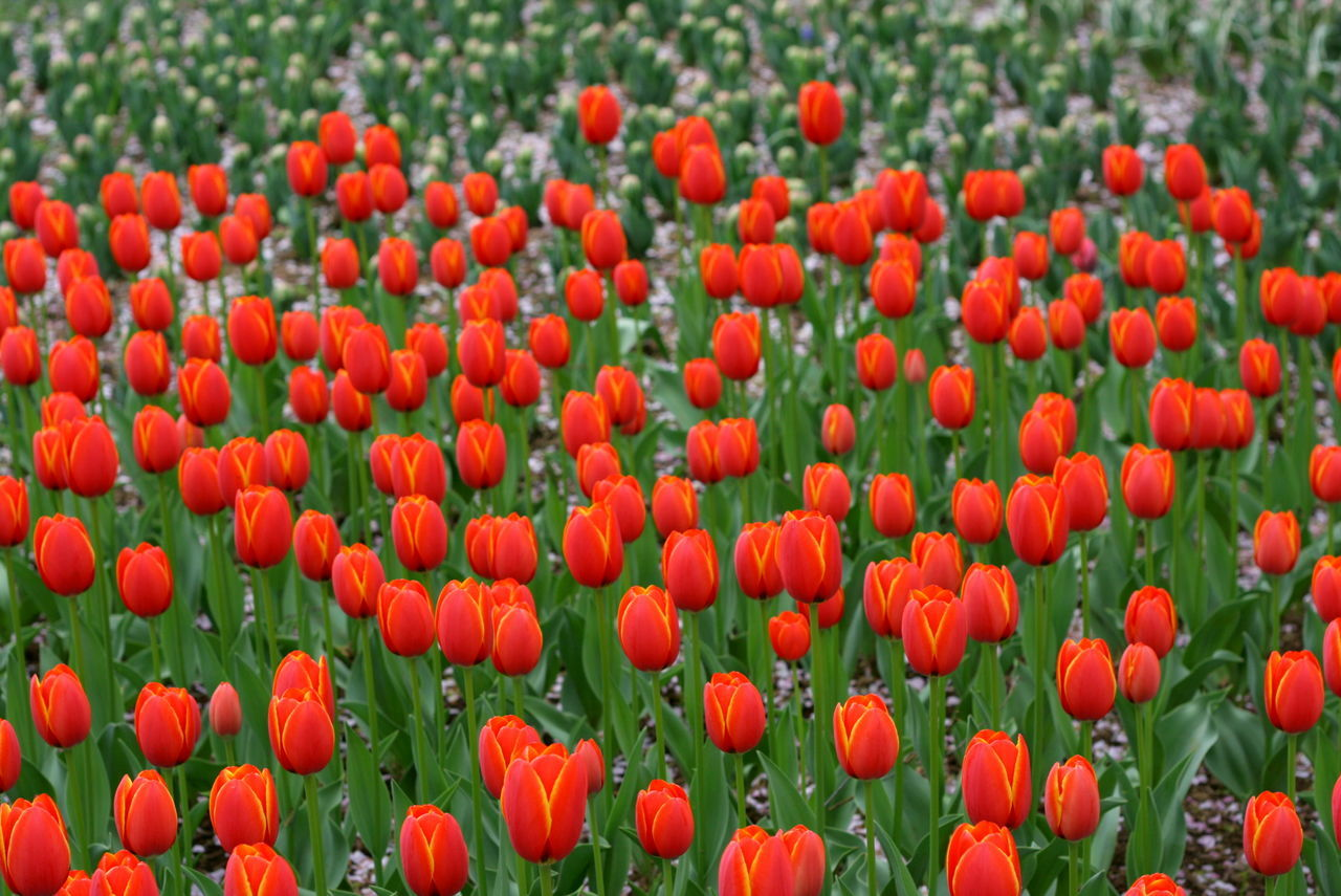 Beauty In Nature Bright Flowers Colour Of Life Field Flower Flower Field Freshness Growth Nature Nature Nature_collection Red Red Tulips Red Tulips Up Close Spring Tranquility Tulip Tulips Vivid Colours  Water White Color Palette