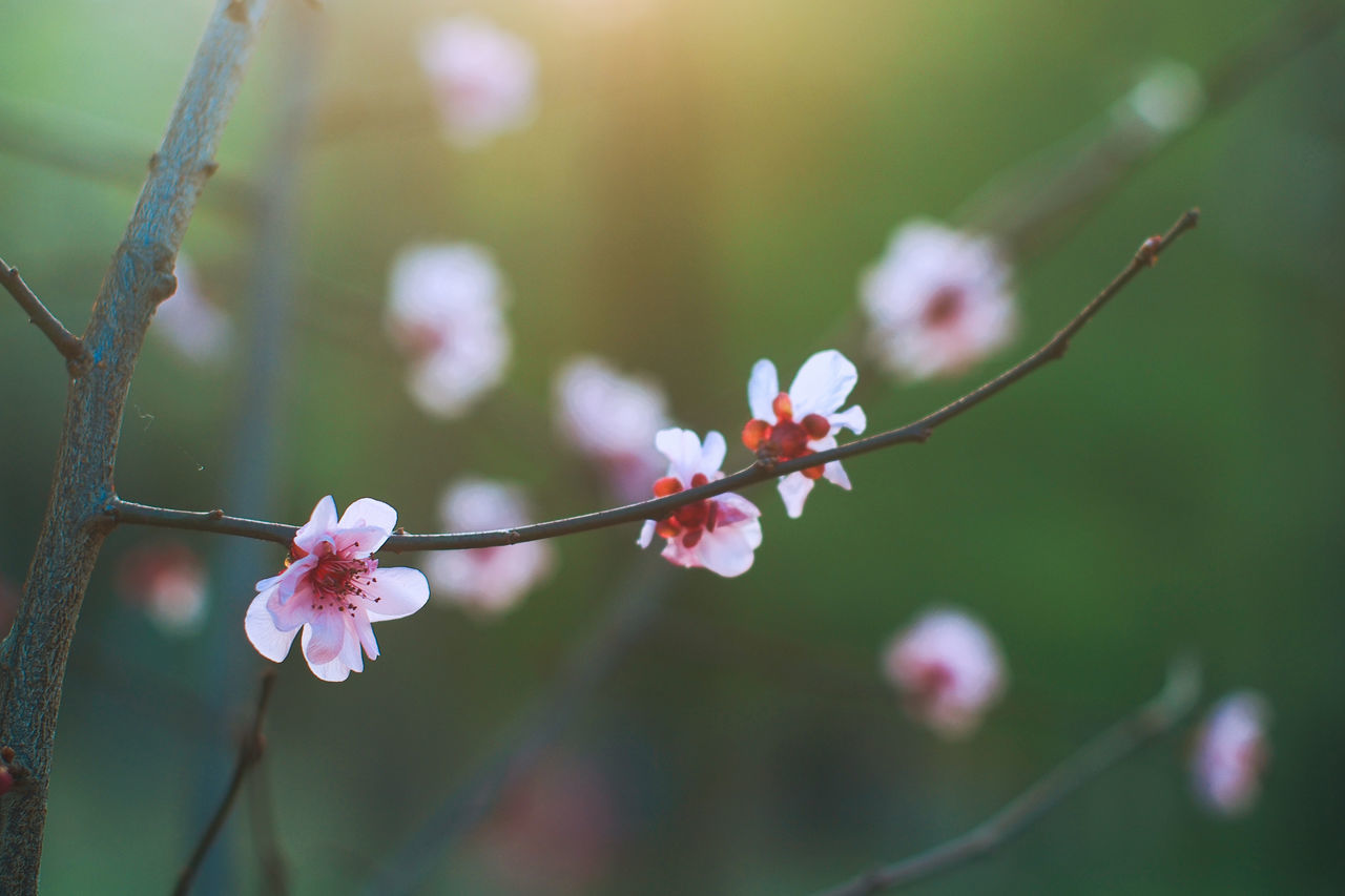 Nature Growth Springtime Close-up Blossom Fragility Outdoors Light And Shadow Peach Blossom Freshness Bokeh Photography Striving For Excellence Macro Photography Catch The Moment Garden Photography Beauty In Nature PracticeMakesPerfect