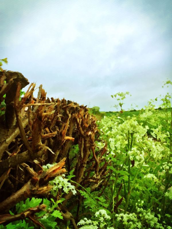 Hedgerow Plant Hedgerows English Countryside Wiltshire Rainy Days Country Fields Farmland Beautiful Nature Stormy Skies Countryside Wiltshire UK Rainy Walks Watercolour Effect Foliage Fine Art Photography