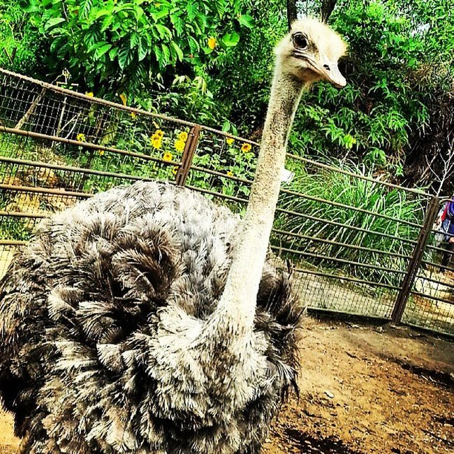 Huh? Asterinasazalie Igphoto Igmalaysia Igmsia instagram instaanimal instaasterinasazalie awesome animal ostrich igstaostrich igostrich samsunggalaxys3 samsungs3 s3 august burungunta instabinatang igphoto
