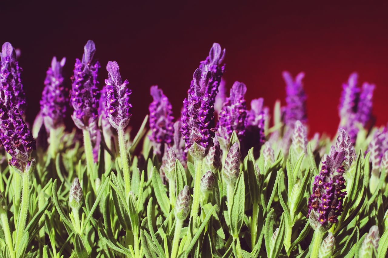 Waking up to these smells. What more do you want? Purple Growth Flower Nature Field Plant Beauty In Nature No People Freshness Close-up Outdoors Blooming Day Fragility Flower Head Lavender Lavenderflower Great Smell Smellsgood Sunrise Macro Macro Photography