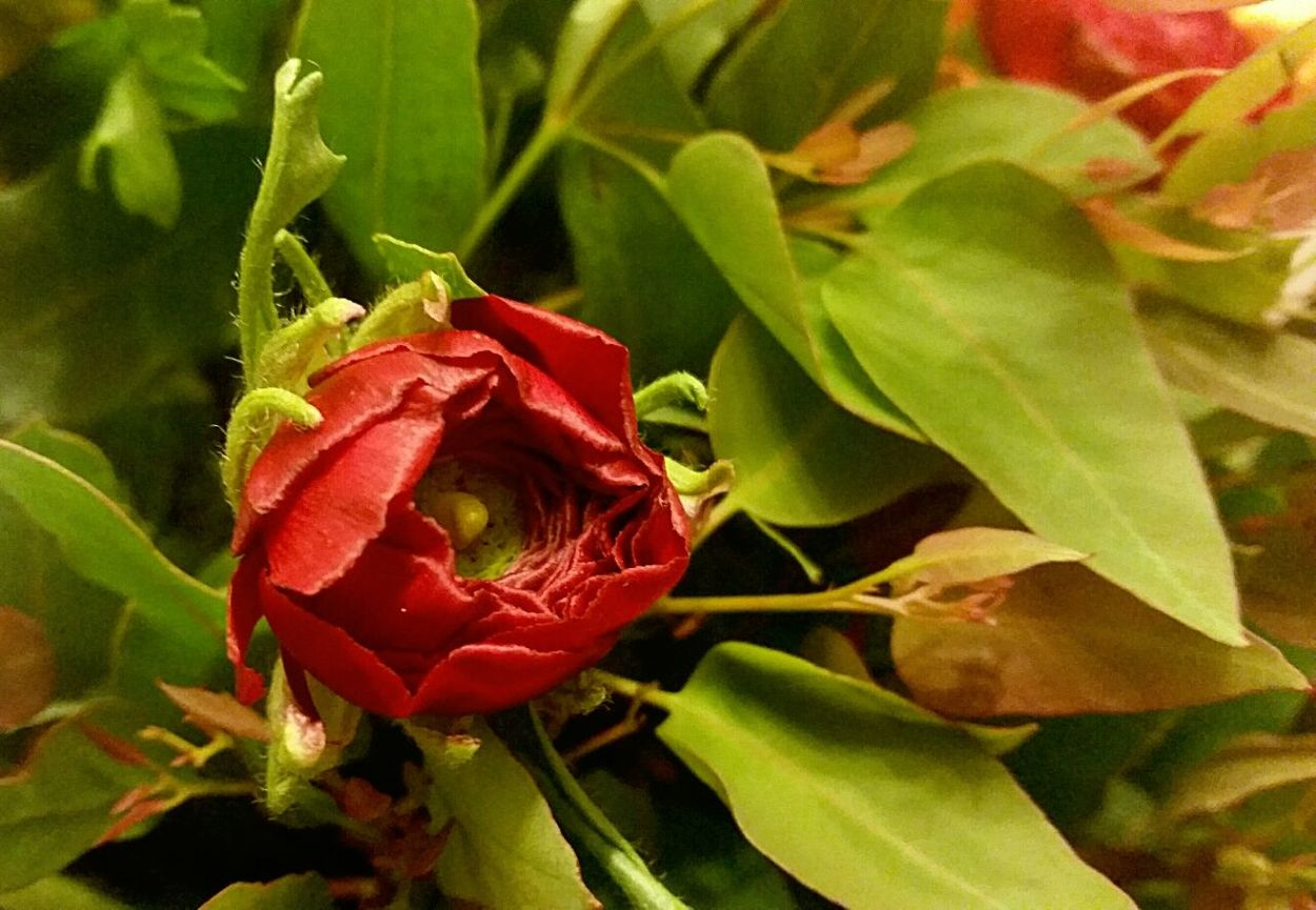 Pure beauty! No edit/filtered! ☝🌷 Showcase: December Red Flowers Simplicity Red Passion Lightandshadow Green Green Green!  Flowers For You! The Beauty In Simplicity
