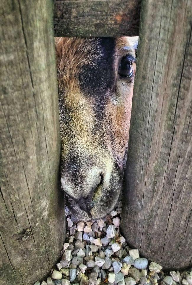 Goat Nature The Essence Of Summer Zoo Zoo Animals  Adventure Buddies Green Enjoying Life Italy Animals