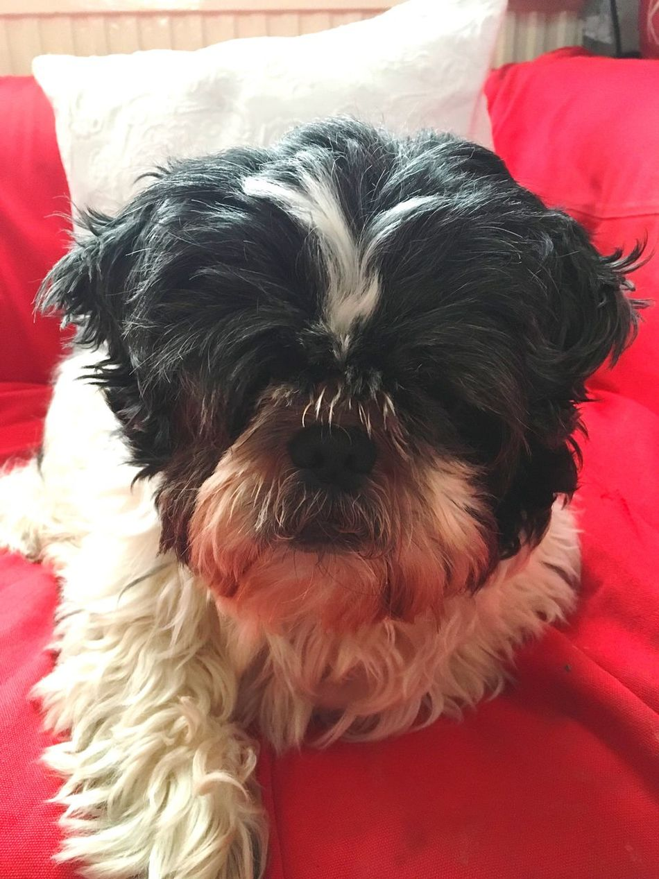 Dog Pets Domestic Animals Animal Themes One Animal Mammal Relaxation Indoors  Portrait No People Close-up Shih Tzu Day Beauty