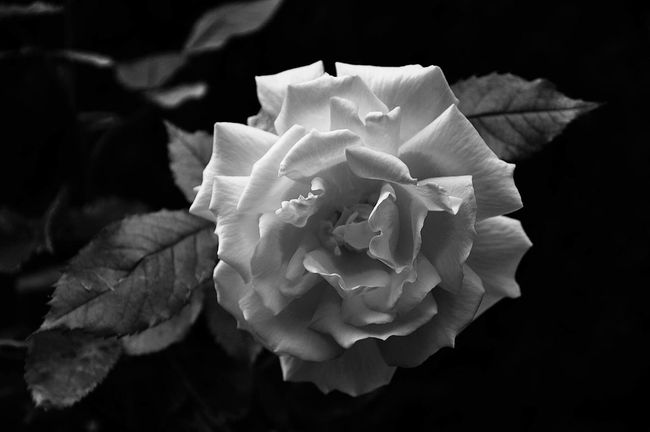 Blackandwhite Black And White Black & White Blackandwhite Photography Black And White Photography Black&white Blackandwhitephotography Black And White Collection  Flowers Flower Flowerporn Flower Collection Roses Rose - Flower