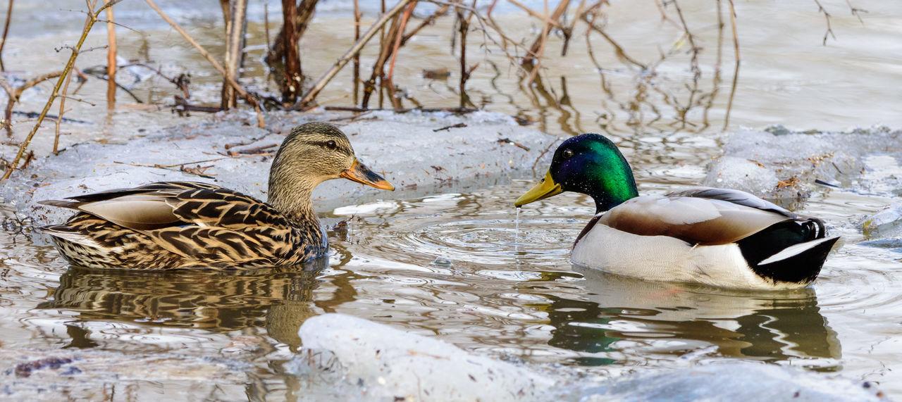 2 Ducks Animal Animal Themes Animal Wildlife Birds Birds Facing Wind Ducks Ice Lake Nature Water Waterfront Winter