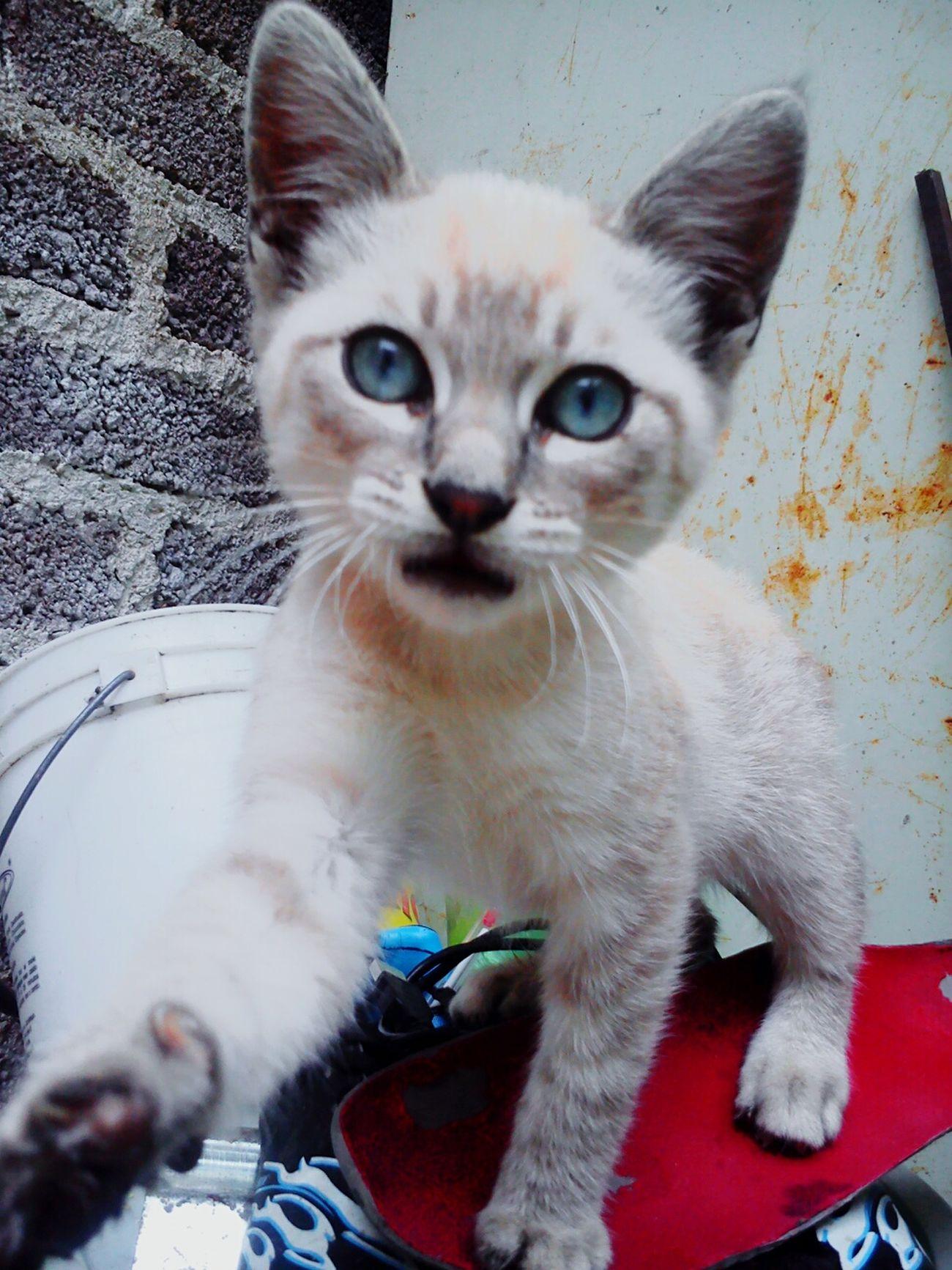 Cat Beautiful ♥ Amazing Eyeblue