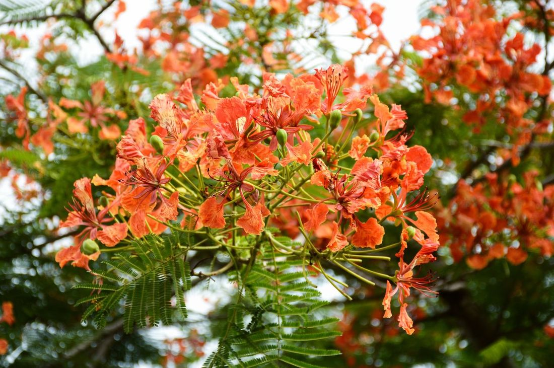 Delonix Regia Red Royal Poinciana Beauty In Nature Bloom Blooming Blossom Close-up Day Flam Boyant Flora Floral Flower Flower Head Flowers Fragility Freshness Growth Nature No People Outdoors Plant Tree
