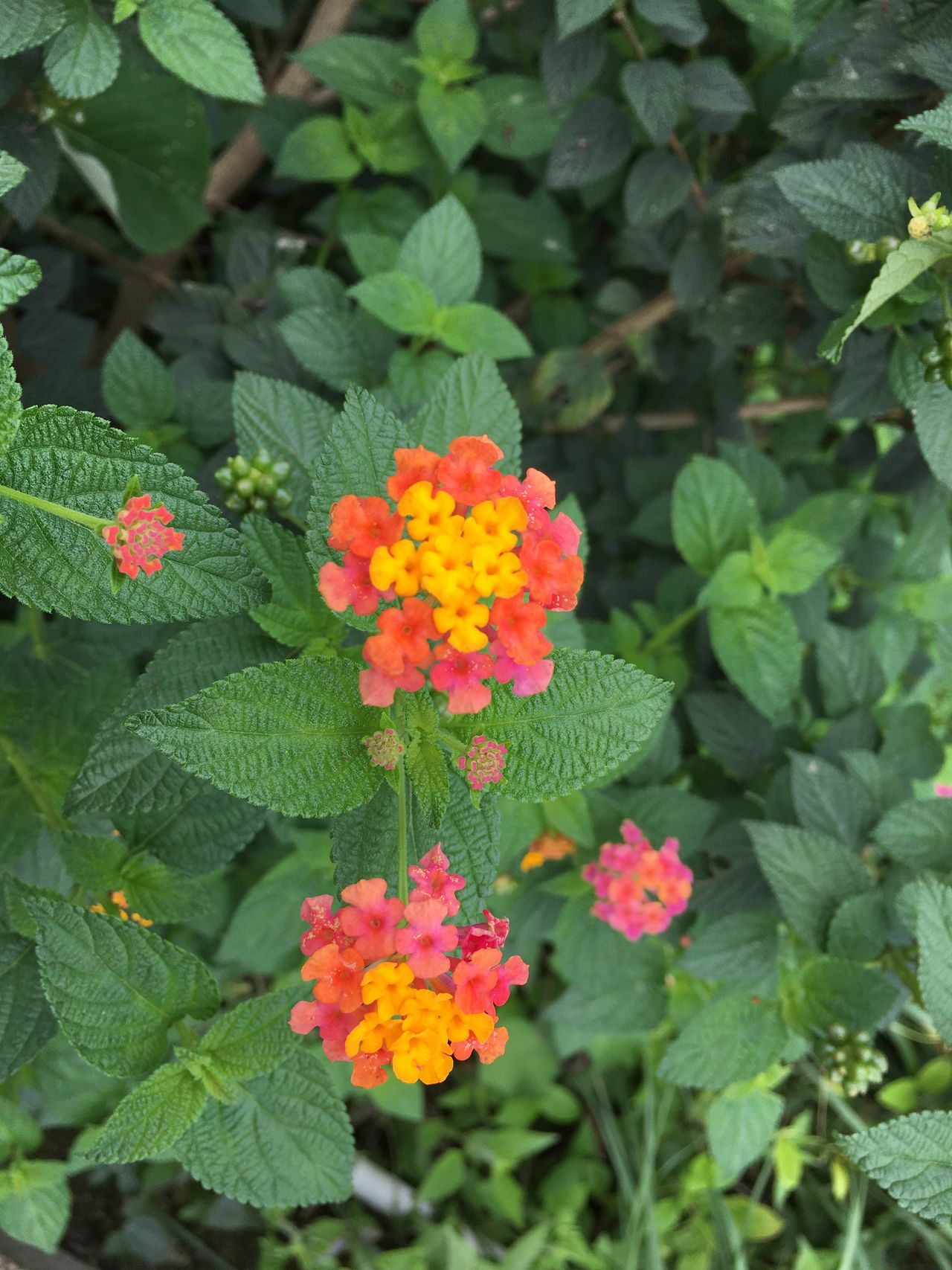 Leaf Flower Growth Green Color Plant Beauty In Nature Nature Fragility Blooming Freshness No People Day Lantana Camara Flower Head Outdoors Petal Close-up Zinnia