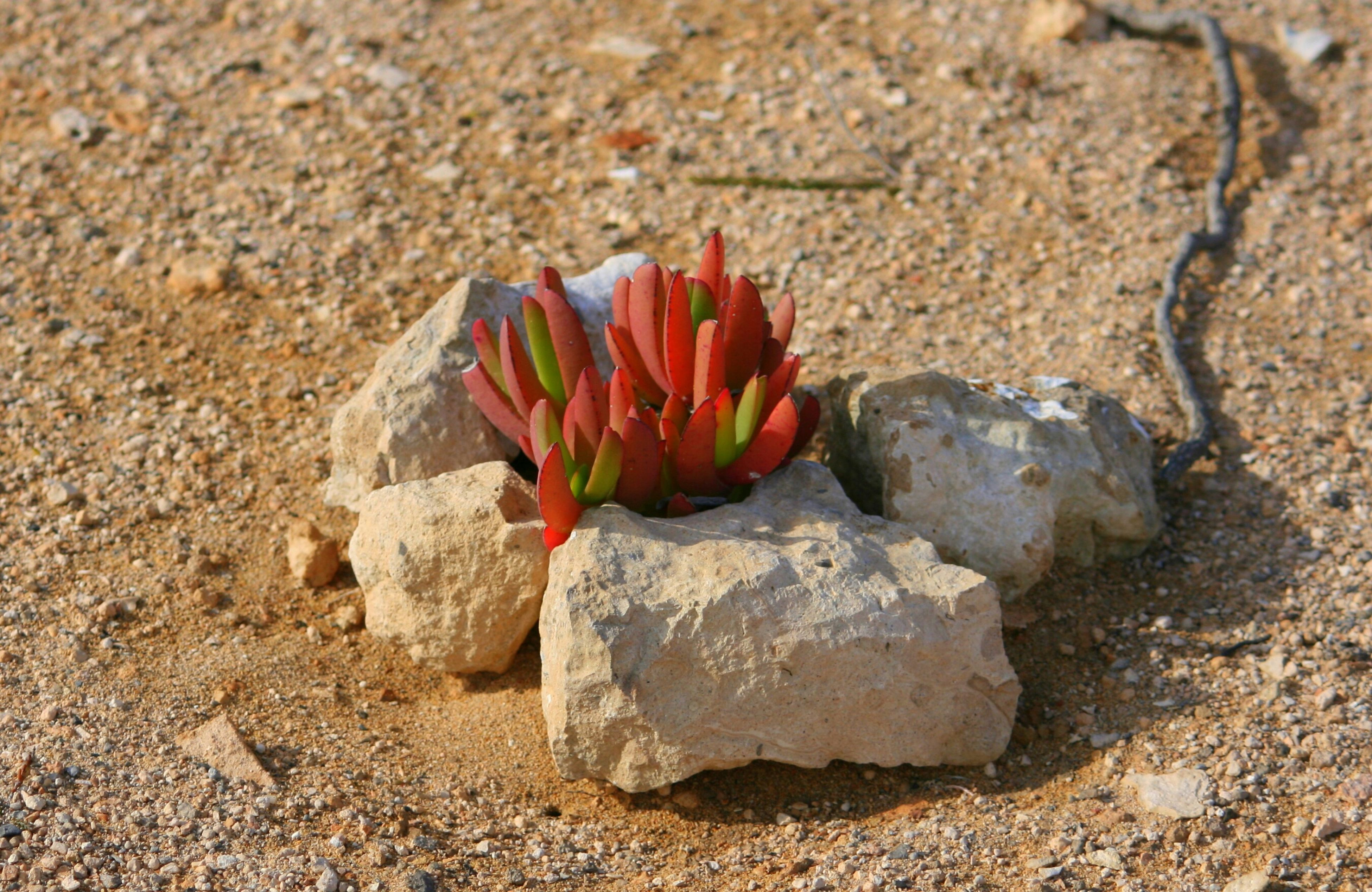 flower, petal, fragility, nature, red, freshness, multi colored, beauty in nature, rock - object, high angle view, close-up, flower head, day, no people, plant, field, outdoors, growth, leaf, stone - object