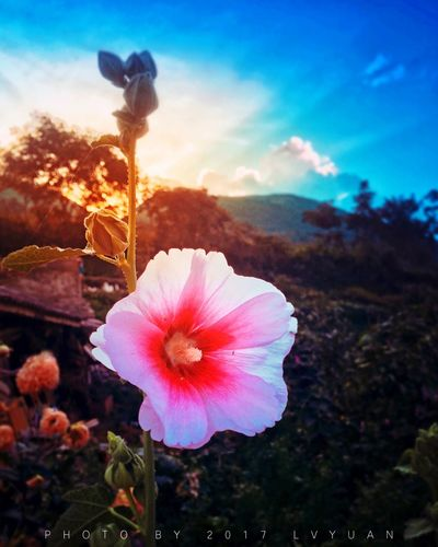 Flower Beauty In Nature Nature Flower Head Fragility Plant Petal Growth Outdoors No People Sky Blooming Freshness Close-up Day Hibiscus