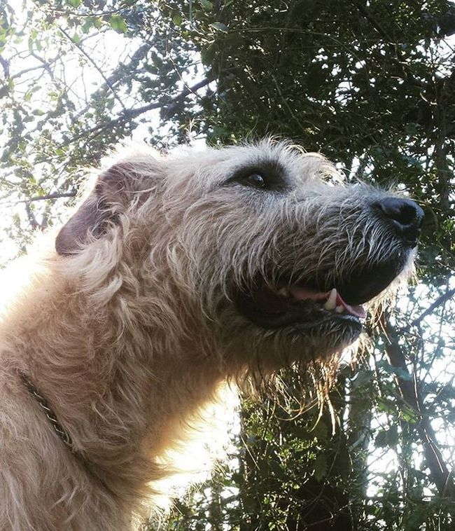 Wolfie walk. Photooftheday Irishgirl Irish Irishwolfhound 141 Photography Dogstagram Dogsofinstagram