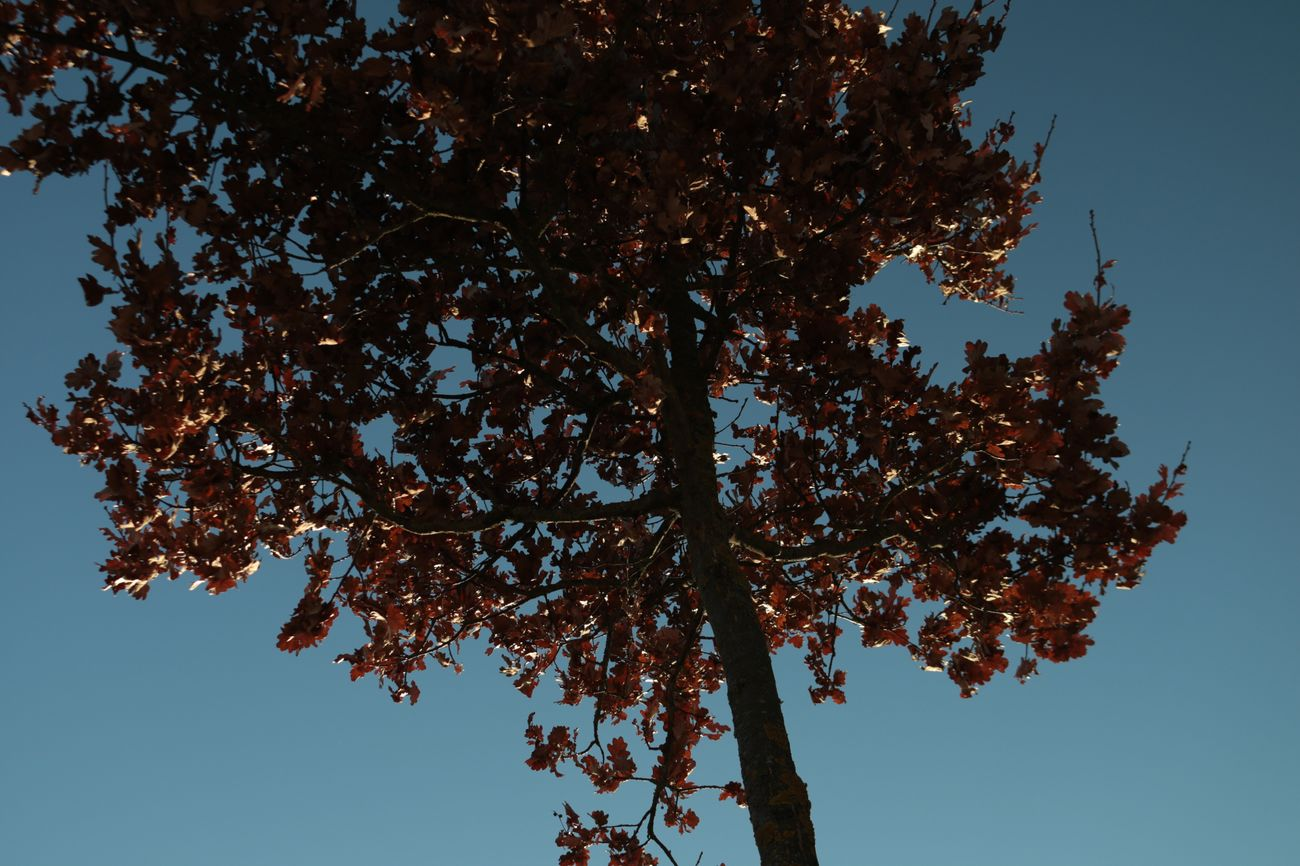Nature Low Angle View No People Tree Outdoors Day Sky Beauty In Nature Leaves Blue Sky