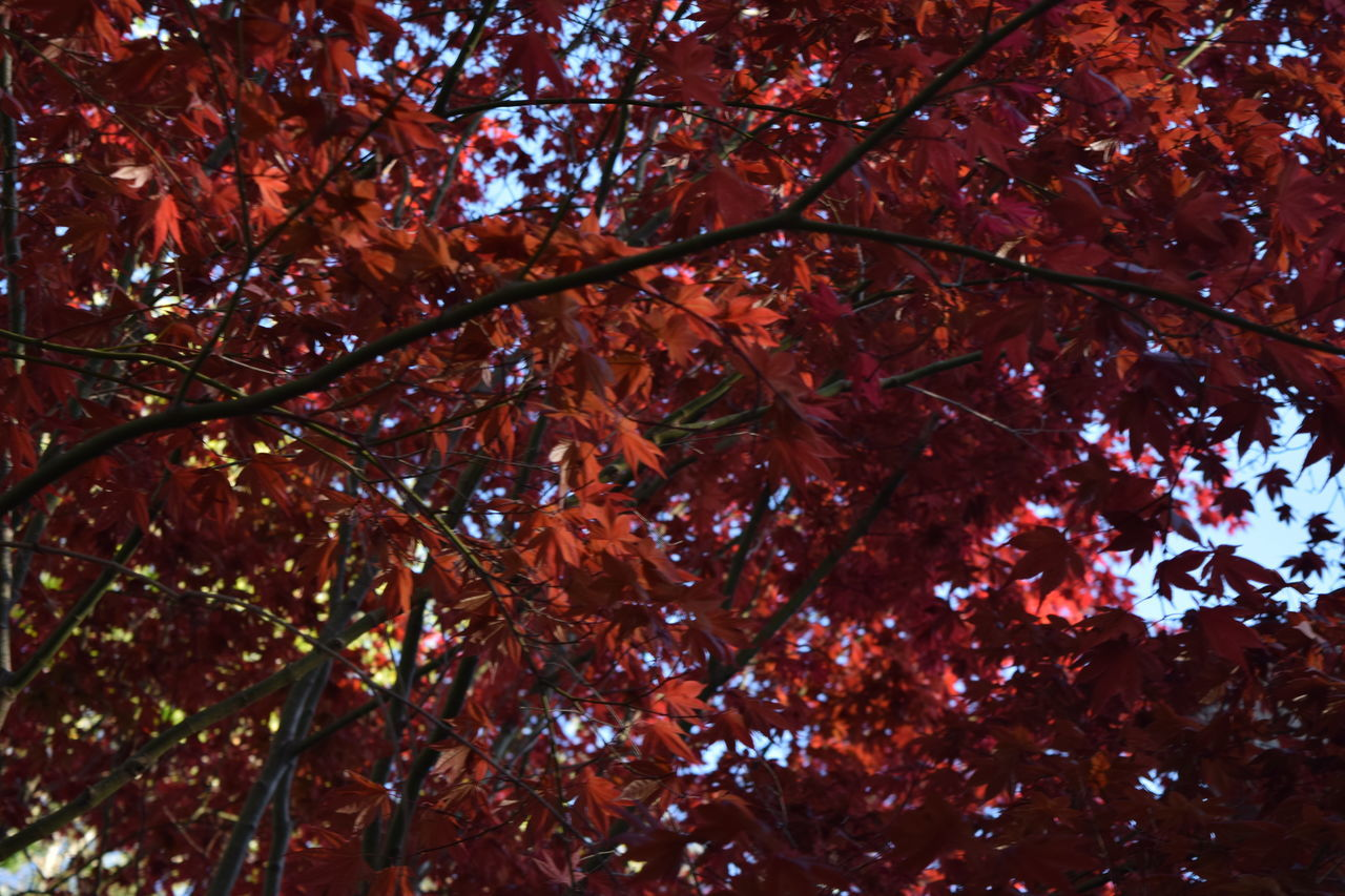 autumn, leaf, change, tree, nature, beauty in nature, low angle view, maple tree, branch, growth, maple leaf, outdoors, day, no people, red, scenics, maple, close-up, freshness