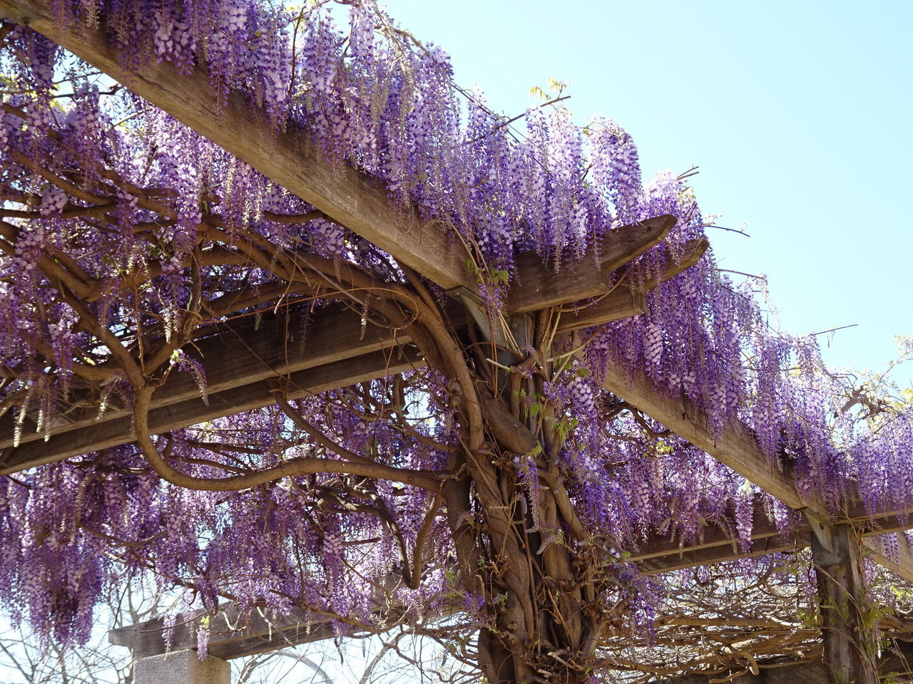 Wisteria pergola Beauty In Nature Branch Day Flower Fragility Nature No People Outdoors Pergola Purple Sky Springtime Tree Wisteria