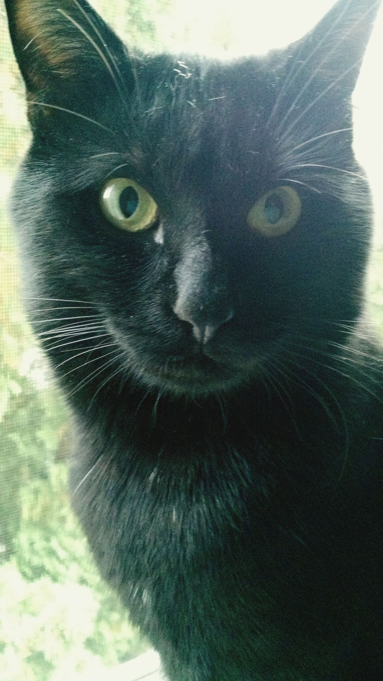 One Animal Looking At Camera Portrait Animal Themes Domestic Animals Pets Close-up Mammal Animal Body Part Front View No People Animal Eye Day Animal Nose Yellow Eyes Outdoors Black Cats Are Beautiful