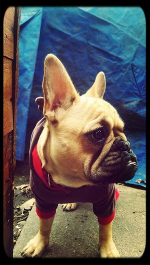 Frenchbulldog Frenchie Bulldog My French Bulldog <3