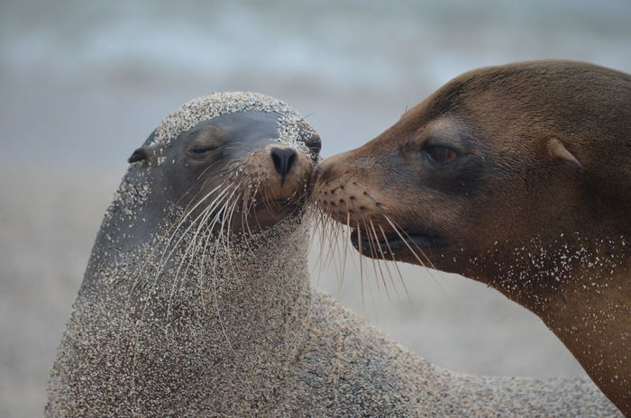 Galapagos Islands. Moments of wilderness Animal Kiss Animal Themes Animals In The Wild Curiosity Cute Ecuador Galapagos Galapagos Islands Love Mammal Mom And Baby Relaxation Relaxing Sea Life Sea Lion Sea Lions Wild Wilderness Wildlife Zoology
