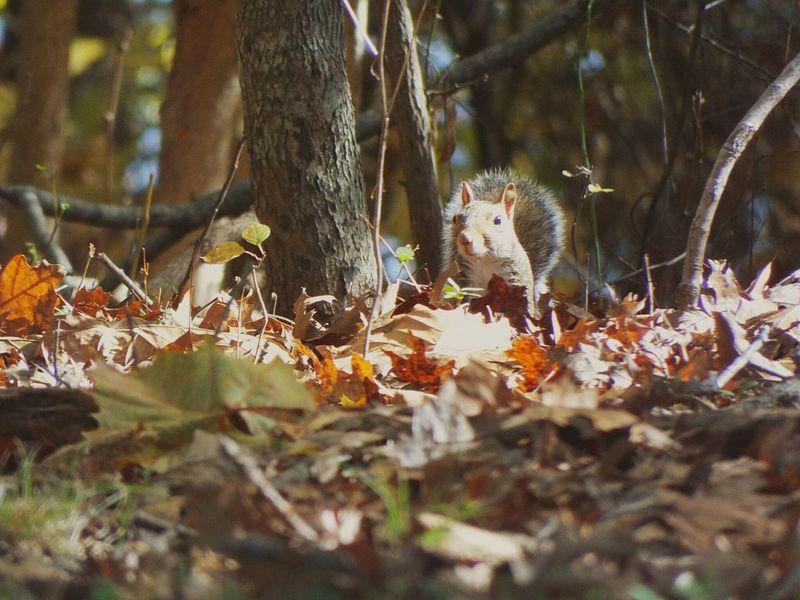 Squirrel Grey Squirrel Wildlife Photography Wildlife Wildlife & Nature Nature Photography Nature Kincaid Lake State Park