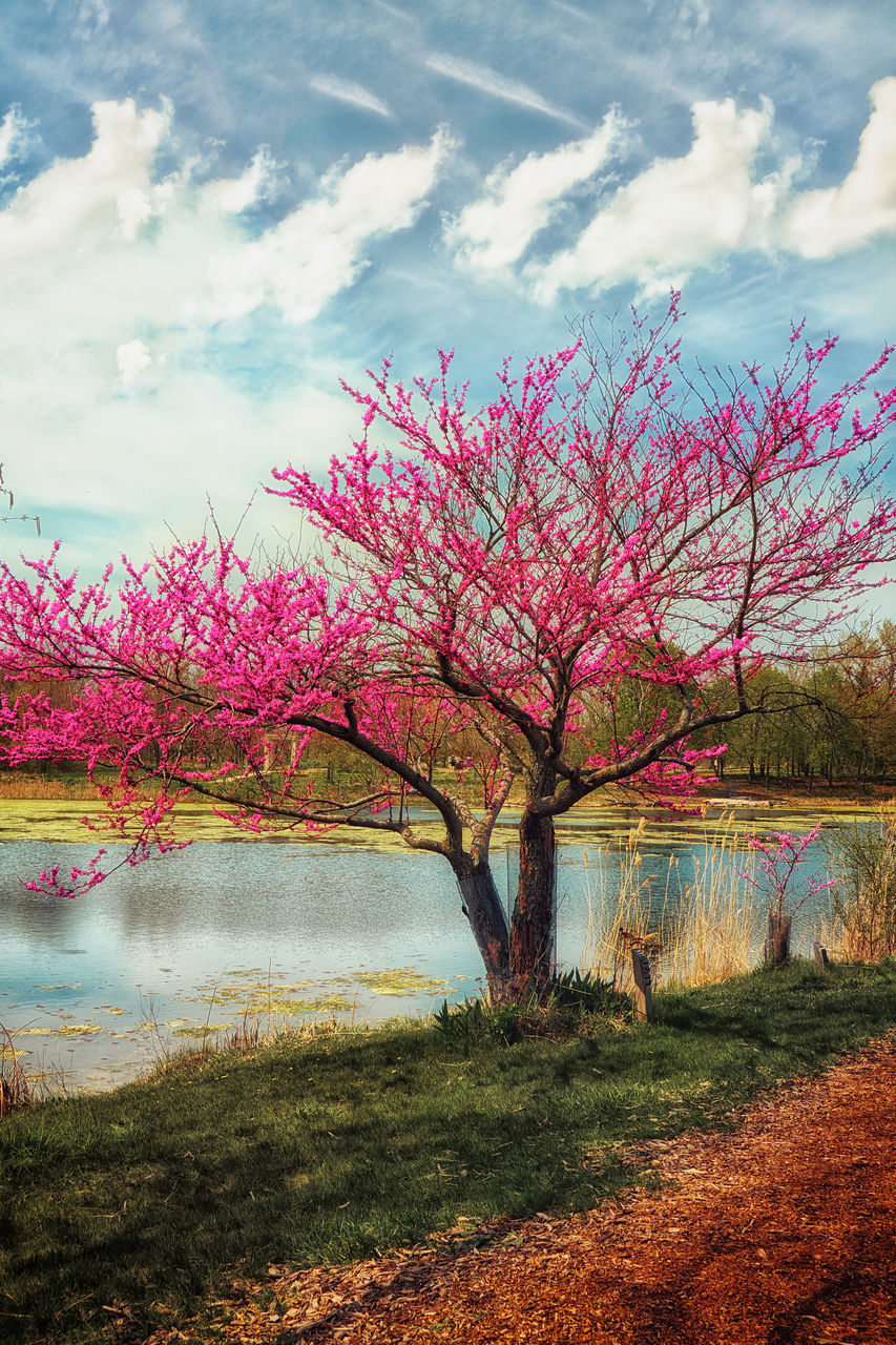 water, tranquil scene, beauty in nature, tree, scenics, tranquility, flower, pink color, sky, tourism, nature, lake, growth, travel destinations, idyllic, cloud - sky, non-urban scene, lakeshore, blossom, vibrant color, majestic, day, cloud, springtime, multi colored, vacations, pink, in bloom, fragility, outdoors, cherry blossom