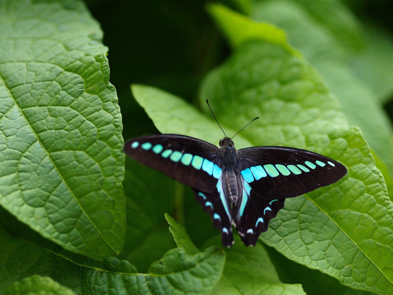一級品になりたい… Insect Butterfly Butterfly - Insect One Animal Animal Themes Leaf Green Color Close-up No People Day Plant Olympus OM-D E-M5 Mk.II