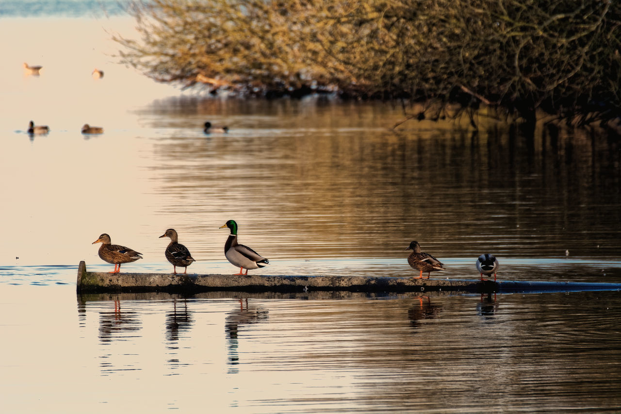 On Duck Row Animal Themes Animal Wildlife Animals In The Wild Beauty In Nature Bird Duck Lake Nature Outdoors Reflection Water