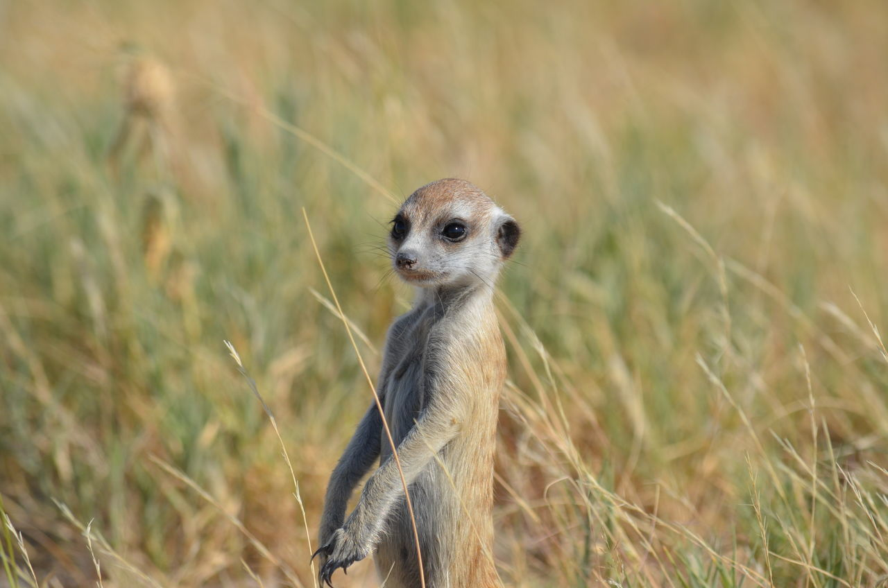 Animal Themes Animal Wildlife Animals In The Wild Close-up Day Field Grass Meerkat Nature No People One Animal Outdoors