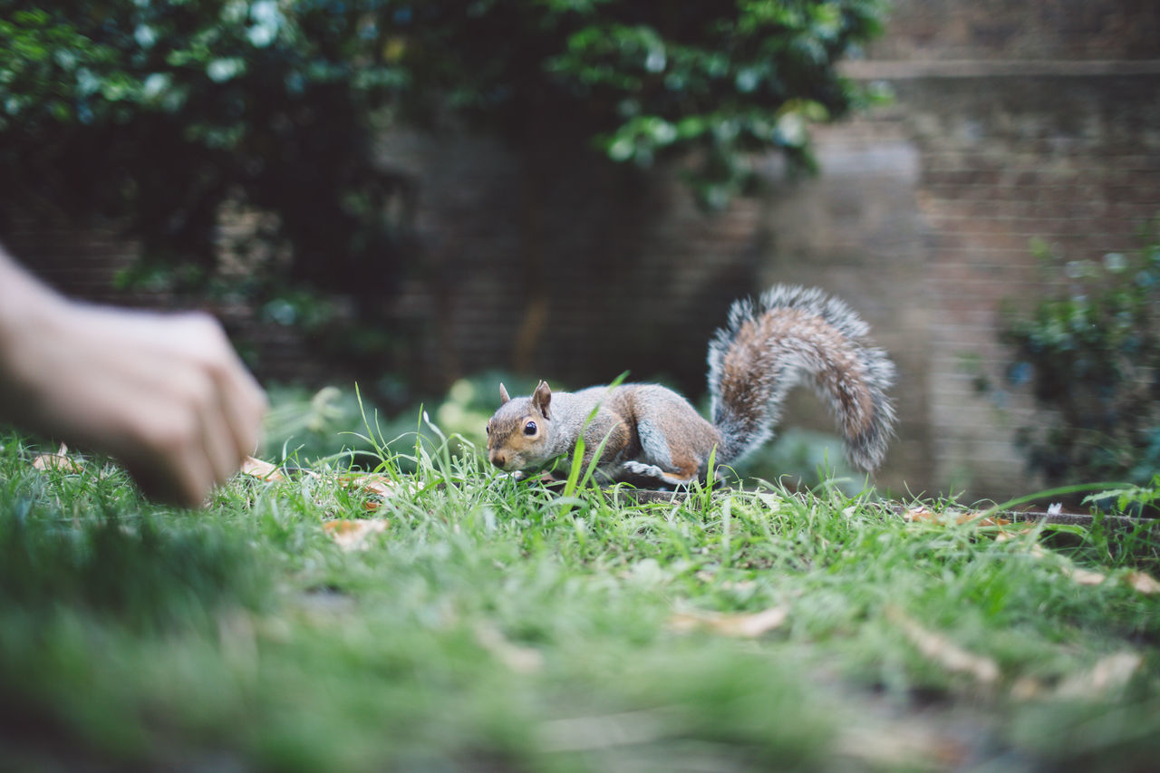 animal themes, mammal, one animal, nature, animals in the wild, outdoors, selective focus, animal wildlife, grass, day, squirrel, real people, plant, food, pets, human hand, one person, people