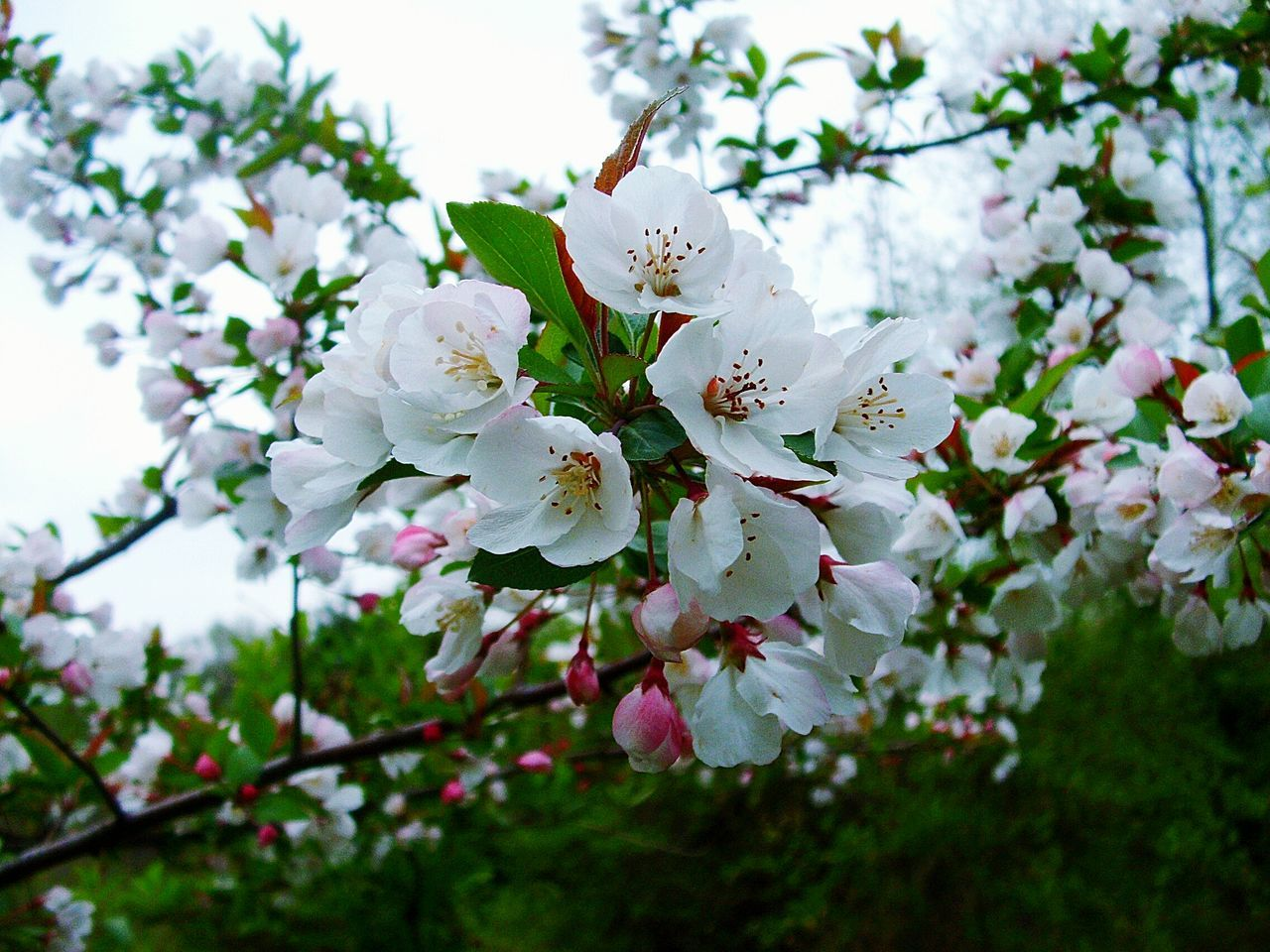 flower, white color, fragility, beauty in nature, blossom, tree, apple blossom, nature, springtime, growth, branch, freshness, apple tree, petal, botany, no people, orchard, twig, close-up, low angle view, day, pollen, blooming, stamen, flower head, outdoors, sky